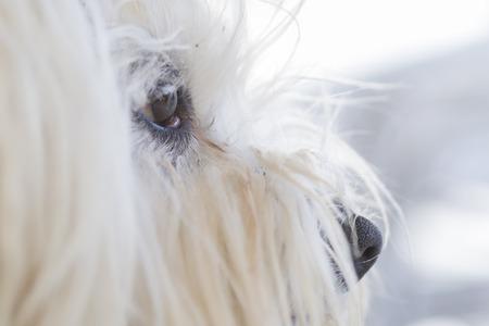 lacrimal: A Maltese bichon tear.