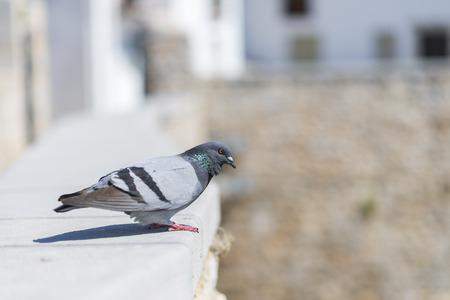 beak doves: Dove.
