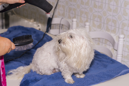bichon: Combing a Maltese Bichon after showering. Stock Photo