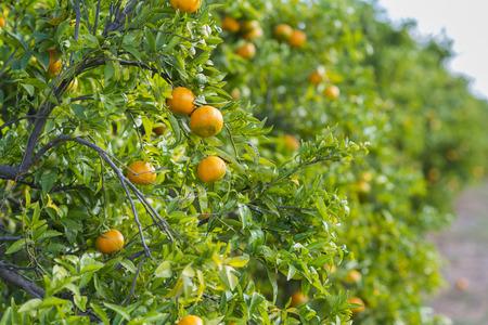 Orange trees. 版權商用圖片 - 50492811