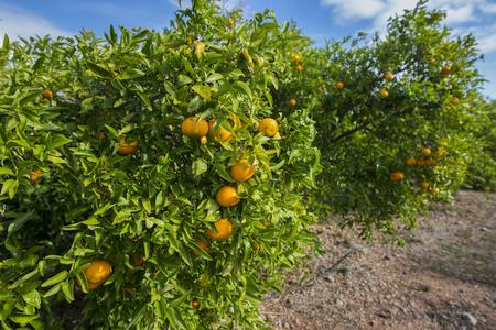 valencia orange: Orange trees.