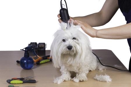 cutting hair: Cutting hair of maltese.