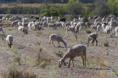 Sheeps. Stock Photo