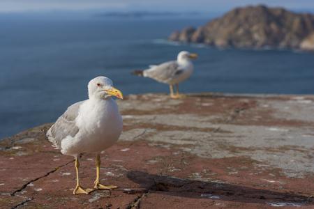 seres vivos: Gaviotas en las Islas Cíes (Pontevedra, España).
