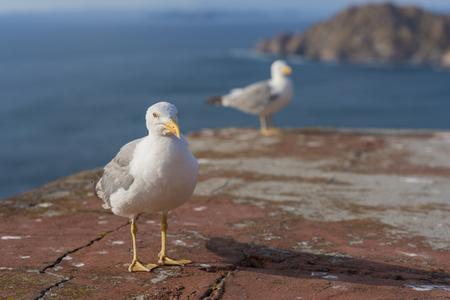 seres vivos: Seagulls in Cies Islands (Pontevedra, Spain).