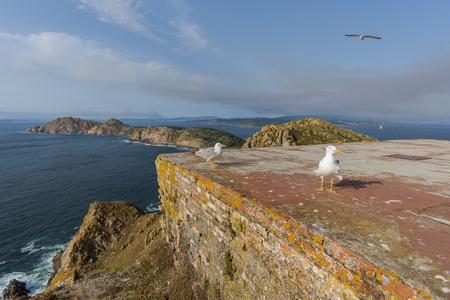 steep: Seagulls in Cies Islands (Pontevedra, Spain).