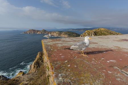 los seres vivos: Seagulls in Cies Islands (Pontevedra, Spain).