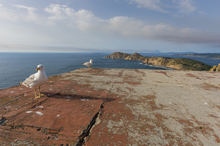 los seres vivos: Gaviotas en las Islas Cíes (Pontevedra, España).