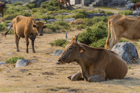 Galician cows. Stock Photo