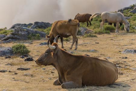 seres vivos: vacas gallegas. Foto de archivo