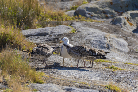chicks: Seagull with chicks.