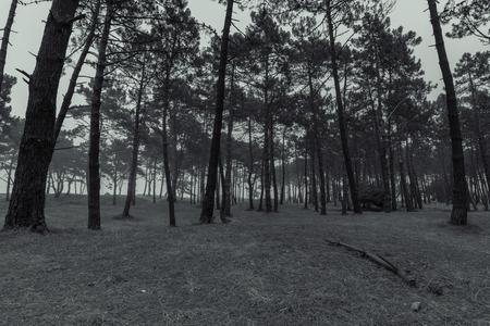 intrigue: Pine forest in Ortigueira (La Coruna, Spain). Stock Photo