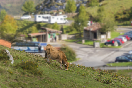 covadonga: Cow in Lakes of Covadonga (Asturias, Spain).