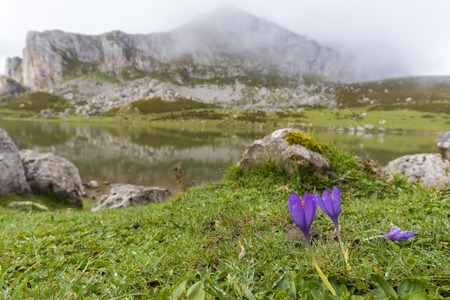 covadonga: Flowers in La Ercina lake (Lakes of Covadonga, Asturias - Spain).