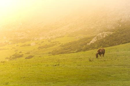 covadonga: Horse in Lakes of Covadonga (Asturias, Spain).