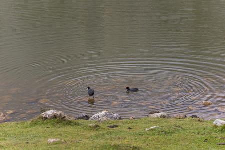 covadonga: Ducks in Lakes of Covadonga (Asturias, Spain).