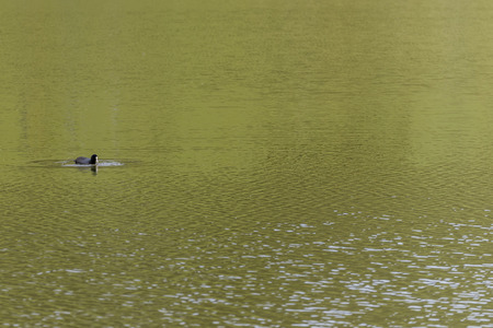 covadonga: Duck in Lakes of Covadonga (Asturias, Spain). Stock Photo