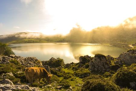 Cow in Enol lake (Lakes of Covadonga, Asturias - Spain).