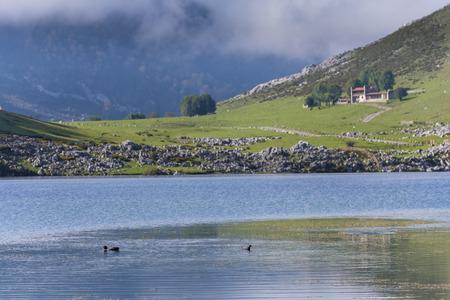 covadonga: Ducks in Enol lake (Lakes of Covadonga, Asturias - Spain).