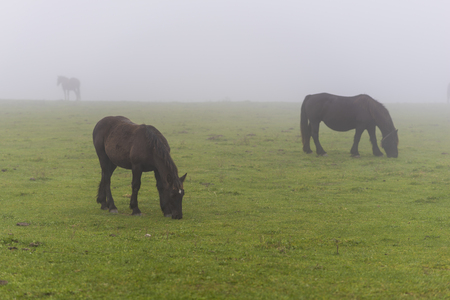 covadonga: Horses in Lakes of Covadonga (Asturias, Spain).