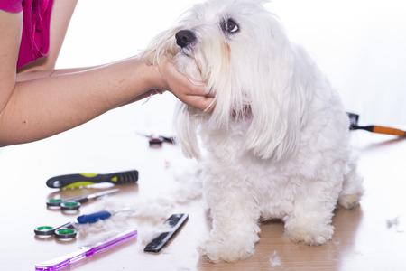 Cutting maltese bichon hair.