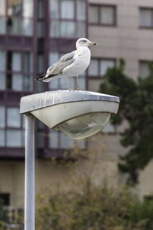 Seagull on a lamppost. 스톡 콘텐츠