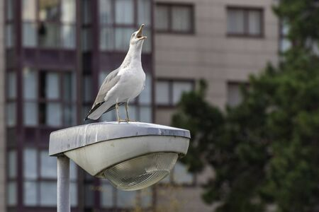 Seagull on an urban lamppost. 版權商用圖片