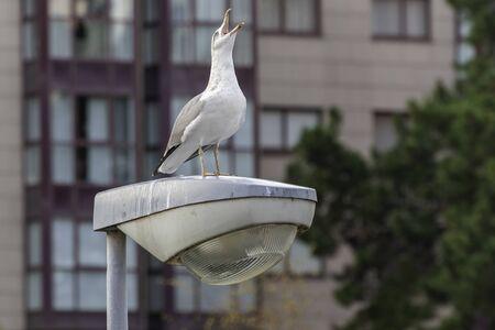 Seagull on an urban lamppost. 版權商用圖片 - 146304257