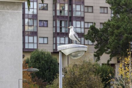 Seagull on a urban lamppost. 스톡 콘텐츠 - 146304267
