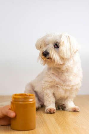 Maltese Bichon eating peanut butter.