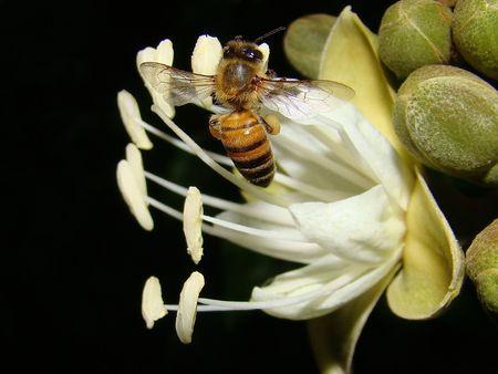 carob: Bee on Carob Tree Flower