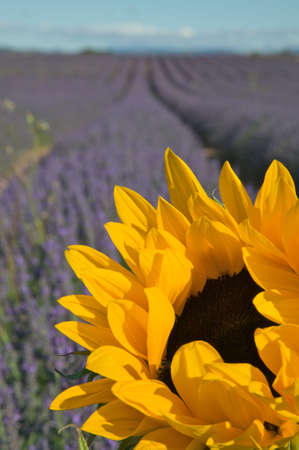 Cropped close-up of a sunflower with rows of lavender plants out of focus in the background. Vertical shot. photo