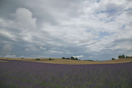 expansive: Expansive view of lavender field with rolling hills of wheat in the distance. The sky overhead is cloudy. Horizontal shot.