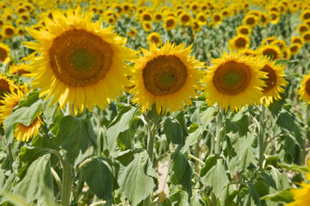 Rows of sunflowers in a farmers field in the sunlight. Horizontal shot. photo