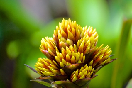 ginger flower plant: Buds of an Orange and Yellow Ginger Flower Plant with Blurred Forest Background Stock Photo
