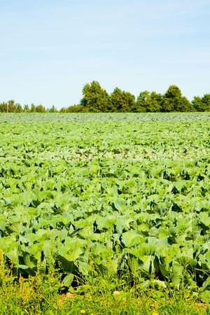 farmed: Lettuce is farmed in a large field in rural Oregon. Stock Photo