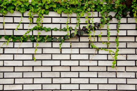 Ivy creeps down a brick wall to create a unique and interesting texture background image perfect for a layout or use with text. Stock Photo - 5576127