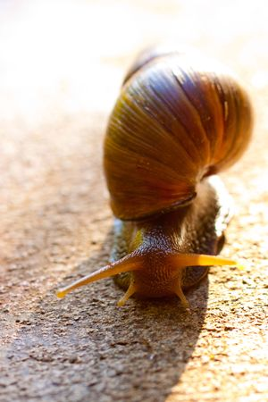 A hawaiian snail crawls along the ground in oahu hawaii. Reklamní fotografie