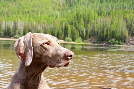 A weimaraner enjoys the water in Eastern Oregon along a river and lake. Stock Photo - 7970785