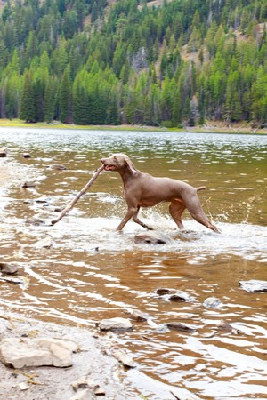 A weimaraner enjoys the water in Eastern Oregon along a river and lake. Stock Photo - 7970815