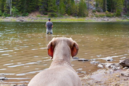 A weimaraner waits on shore and watches its owner fly fishing in a lake. Stock Photo - 7970773