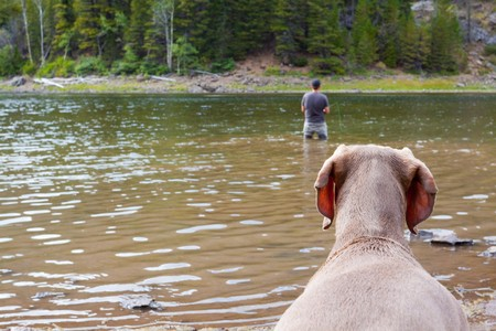 A weimaraner waits on shore and watches its owner fly fishing in a lake. Stock Photo - 7970772