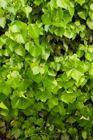 wall ivy: Una hiedra de la pared de las hojas se dispar� en una forma de crear una �nica imagen abstracta textura de fondo de color verde con formas y l�neas. Foto de archivo