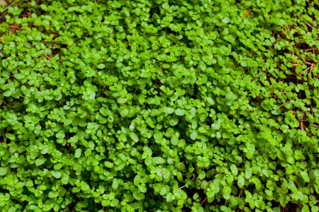 plantlife: An abstract image of a patch of green clover plant is photographed in a way that shows the texture of this possible background plantlife image