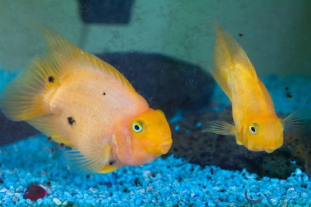 Some gold fish swim in an aquarium and look towards the camera while underwater. Stock Photo - 17100957
