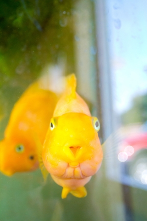 Some gold fish swim in an aquarium and look towards the camera while underwater. Stock Photo - 17100829