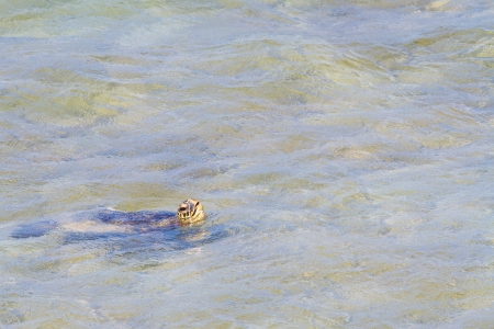 A rare image of a sea turtle coming up for air in the ocean water of the north shore of Oahu. This amazing animal is swimming in the waves and coming up to breathe only occasionally. Stock Photo - 18229028