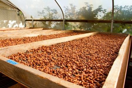 Cacao nibs zijn ontdaan van hun peulen en kaf en zijn nu braden in de zon op flats in een chocoladefabriek in Hawaï. Deze chocolade cacao is organisch en alle natuurlijke.