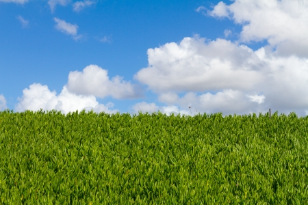 This unique abstract image shows a hedge of tropical vegetation plants and some blue sky along with clouds. This is a great image for copyspace and design purposes. Stock Photo