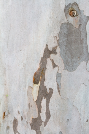 bark peeling from tree: A light colored tree has multiple shade of grey in a sort of camo like appearance in this nature abstract texture image of the peeling bark.